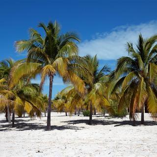 Palmenwald auf Cayo Largo