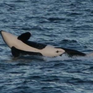 Antigua mit Orca